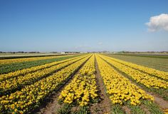 Tulpefelder in Holland Lizenzfreie Stockfotos