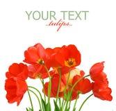 Tulpen Stock Fotografie