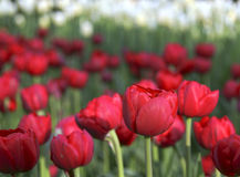 Tulpen Royalty-vrije Stock Foto