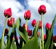Tulpen 16 Stockbild