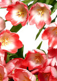 Tulpen stock foto