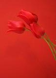 Tulpen Lizenzfreie Stockfotografie