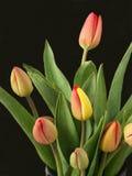 Tulpen 2 Royalty-vrije Stock Foto