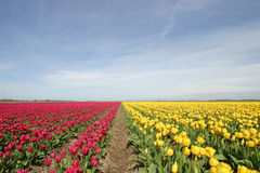 Tulpen 20404-05.jpg Photographie stock