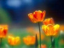 Tulpen. Stock Foto's