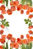 Tulpen Stock Afbeeldingen