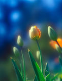 Tulpen. Stock Fotografie