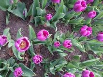 Tulpen Stockfoto
