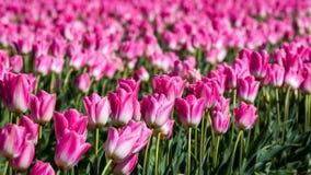 Tulpen Stockfotos