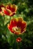 Tulpen Royalty-vrije Stock Afbeelding