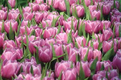 Tulpen 10 Stock Afbeelding