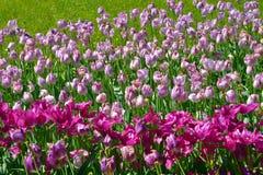 Tulpen Stockbilder