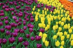Tulpen 7 Stockfotos