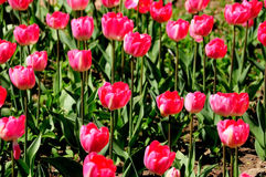 Tulpen royalty-vrije stock fotografie