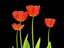 Tulpen 17 Royalty-vrije Stock Afbeeldingen