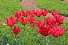 Tulpen in aard Stock Afbeelding