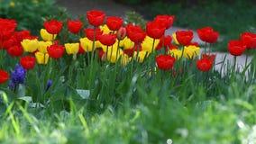 Tulpen in aard in groen met wilde vogelliederen De achtergrond van het tulpenbehang De tulp bloeit textuur Bloemen patroon stock video