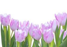 Tulpen als Hintergrund Stockbild