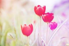 Tulpen auf dem Gebiet Stockfotos