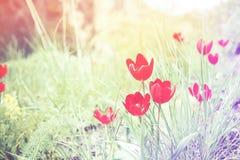 Tulpen auf dem Gebiet Lizenzfreie Stockbilder