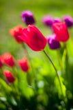 Tulpen auf dem Gebiet Stockbild