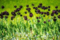 Tulpen auf dem Gebiet, sonnig Stockfotos
