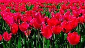 Tulpen auf einem Gebiet während eines schönen Frühlingstages stock footage