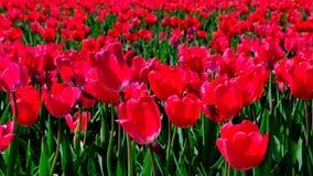 Tulpen auf einem Gebiet während eines schönen Frühlingstages stock video