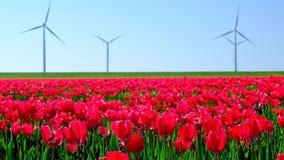 Tulpen auf einem Gebiet während eines schönen Frühlingstages stock video footage