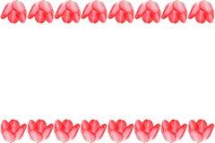Tulpen auf einem weißen Hintergrund. Stockfoto