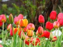 Tulpen auf Schnee Lizenzfreies Stockbild