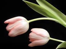 Tulpen auf Schwarzem Lizenzfreies Stockfoto