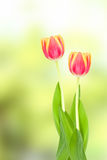 Tulpen auf unscharfem Hintergrund Stockbilder