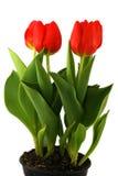 Tulpen auf weißem Hintergrund Stockfotos
