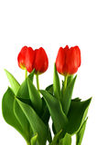 Tulpen auf weißem Hintergrund - 2 Lizenzfreie Stockfotografie