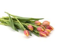 Tulpen auf weißem Hintergrund Stockfotografie