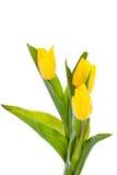 Tulpen auf weißem Hintergrund Farben der Frühlingsschönheit Lizenzfreie Stockfotos