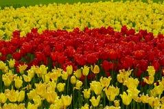 Tulpen_ Baden-Baden, Tyskland Royaltyfri Fotografi