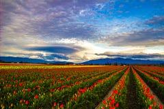 Tulpen bij Schemer Stock Afbeeldingen