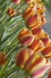 Tulpen bij zonsondergang stock afbeeldingen
