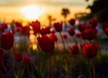Tulpen bij zonsondergang in Porec stock afbeeldingen