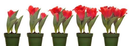 Tulpen-blühende Reihe Lizenzfreies Stockfoto