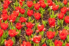 Tulpen-blühender Bett-Frühjahr-Hintergrund Stockfotografie