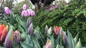 Tulpen in bloem in dichte omhooggaand in een Engelse tuin stock video