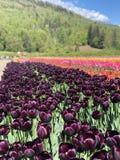 Tulpen royalty-vrije stock foto's