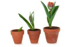 Tulpen in bloempot Royalty-vrije Stock Foto's