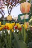 Tulpen in de Binnenplaats Stock Afbeeldingen