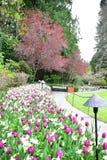 Tulpen in de Butchart-Tuinen Victoria BC stock foto