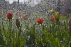 Tulpen in de de lentetuin Royalty-vrije Stock Fotografie