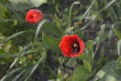 Tulpen in de de lentetuin Stock Afbeelding
